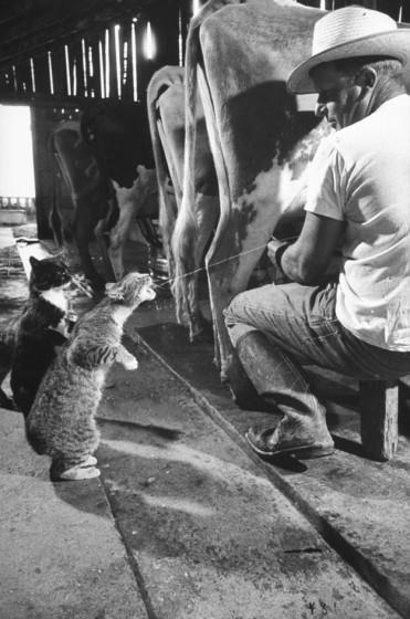 cat-milked-beef